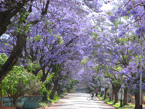 jacarandas walk Most Beautiful Tree Tunnels Around the World