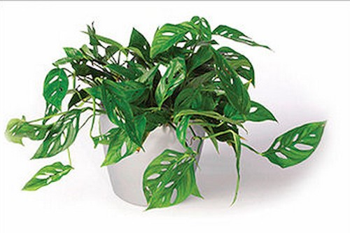 Philodendron Swiss Cheese